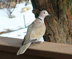 Dove Migration Map Eurasian Collared Doves Conquering America Feederwatch