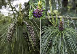 Tree With Purple Flowers Identification What Is This Pine Tree With Long Pendulous