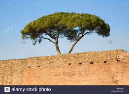 pine tree above brick wall palatino rome italy blue