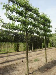 pyrus calleryana chanticleer ornamental pear espalier 4