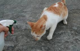 Sho Kucing Anti Jamur 11 cara ilmiah menghilangkan jamur ringworm pada kucing