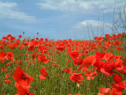 what about paris poppies veterans day or remembrance day