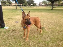 belgian malinois weight at 8 months is our dog a pure bred belgian malinois thriftyfun