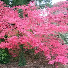 buy acer palmatum shin deshojo trees buy ruby trees