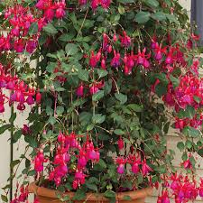 flower plants fuchsia pink fizz plants from mr fothergill s seeds and plants