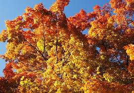 New York State Fall Foliage Map by Best Weekend For New York Leaf Peeping Upon Us The Daily Gazette