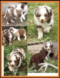 australian shepherd 6 weeks mini aussie pup for sale 2014 litter 5 callie pup 1 red merle