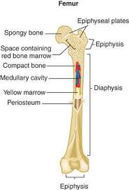 Parts Of Ethmoid Bone Endochondral Bone Definition Of Endochondral Bone By Medical