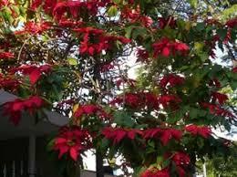 poinsettia tree henri bentum poinsettia trees in the caribbean