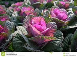 brassica ornamental kale royalty free stock images image 11101209