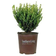 home depot trees and shrubs 3 gal home depot tree and shrub