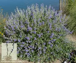 Bluebeard Flower - dark knight bluebeard u2013 caryopteris x clandonensis u0027dark knight