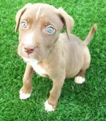 australian shepherd lab mix puppy 48 best one more year images on pinterest animals australian