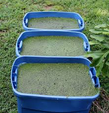 duckweed growing tips and tricks duckweed gardening