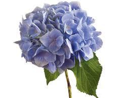 hydrangea flowers hydrangea flower meaning symbolism teleflora