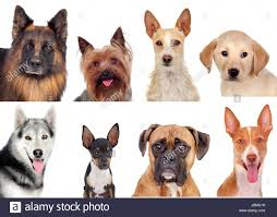 types of dogs photo collage of different breeds of dogs isolated on a white