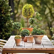Real Topiary Trees For Sale - indoor trees you u0027ll love evergreen english and gardens