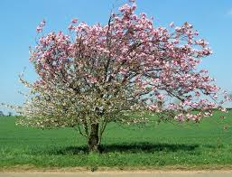file apple tree in blossom geograph org uk 407616 jpg