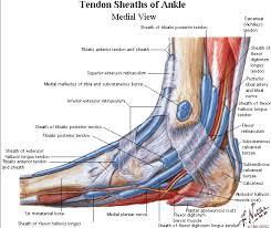 Foot Tendons Anatomy Foot Tendon Anatomy Footperontendon Human Anatomy Charts
