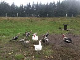 thanksgiving farm holidays blackbroom farm