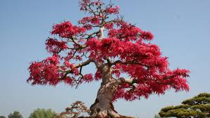 Maple Tree Symbolism by Bonsai Tree Meaning An Approach To Bonsai Latest Home Decor And