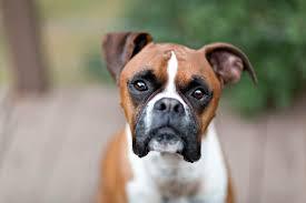 1 year old boxer dog boxer dog names dogtime