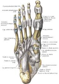 Foot Tendons Anatomy Foot Function U0026 Fascial Lines Sesamoids Short Foot U0026 Stability