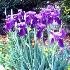 iris sp csbe