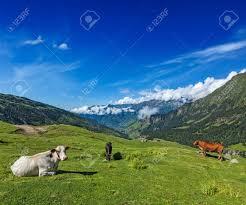 Suche K He Serene Friedliche Landschaft Hintergrund Kühe Auf Der Alm Im