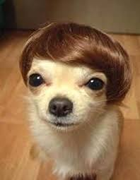 Memes De Chihuahua - chihuahua meme face goldenacresdogs com