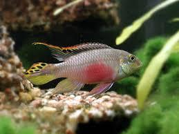 kribensis male pelvicachromis pulcher photo 1024x768