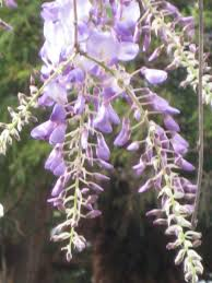 growing american wisteria hgtv