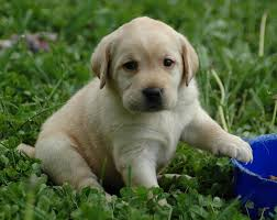golden labrador golden retriever lab temperament