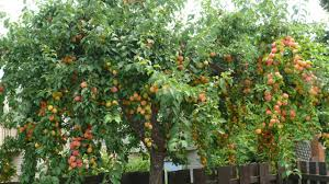 Planting Fruit Trees In Backyard Backyard Garden With Apple Fruit Tree Growing Garden Fruit Trees