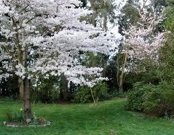 albero giardino alberi da fiore piante da giardino caratteristiche alberi da fiore