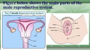 The Anatomy Of The Male Reproductive System 1st Science 2 Function Of Female Reproductive System