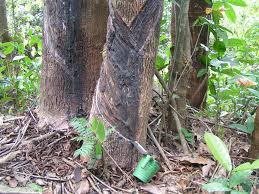 plants native to brazil trees heritage trees of liberia