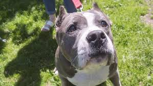 american pitbull terrier illegal montreal spca to take legal action against new bylaw targeting pit