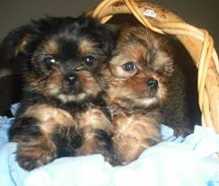 pictures of shorkie dogs with long hair snorkie schnauzer yorkie mix info temperament puppies pictures