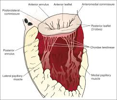 Anatomy Of Heart Valve Role Of Transesophageal Echocardiography In Mitral Valve Repair