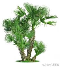 mediterranean fan palm tree what is a mediterranean fan palm with pictures