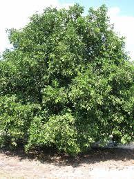 citrus id fact sheet gou tou
