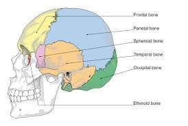 Anatomy Of The Human Body Bones The Skull Boundless Anatomy And Physiology