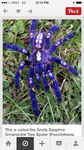 15 best gooty sapphire ornamental tree spider images on