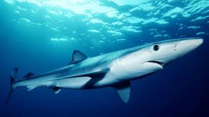eight types of sharks roam new hampshire waters