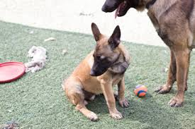 belgian malinois weight at 8 months view ad belgian malinois puppy for sale california imperial