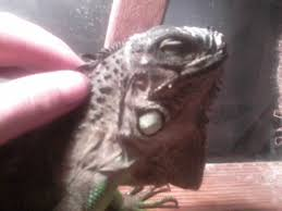how to care for an iguana without a cage reptiles wonderhowto