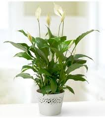 peace plant peace plant wilmington de florist