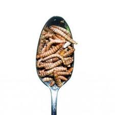 insecte de cuisine entomophagy edible insects and the future of food scoop it