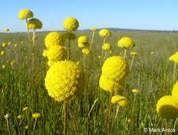 grassland native plants parks victoria on twitter